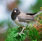 _dsc0067[228][1280] (dark-eyed junco)